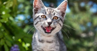دراسة حديثة: القطط يمكنها أن تصاب بكورونا! image