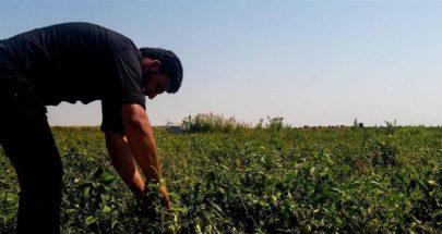 قرار للعمال الزراعيين يسمح لهم بالانتقال طوال اليوم لقطاف المحاصيل image