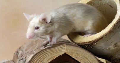 فئران معدلة وراثيا لاختبار اللقاحات المضادة لكورونا عليها image