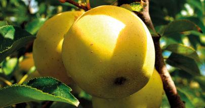 التعاونية الزراعية في جزين نظمت جولة في بساتين التفاح image