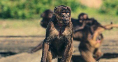 """استفتاء """"تاريخي"""" في سويسرا قد يمنح القردة """"حقوقا أساسية"""" كالبشر image"""