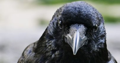 العلماء يثبتون قدرة الغربان على التفكير الواعي لأول مرة! image