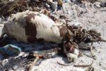 جريمة مروّعة في معركة... يُطعم الناس كراعين ورؤوس الحيوانات الميتة في المكبات image
