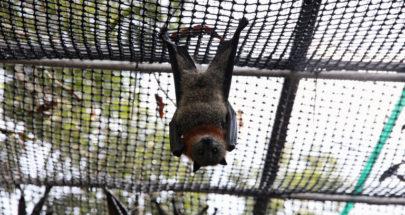 دراسة تكشف سبب عدم مرض الخفافيش رغم حملها للكثير من الفيروسات image