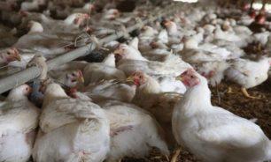 الطلب على الدجاج ارتفع 300% والحل باستمرار الدعم image