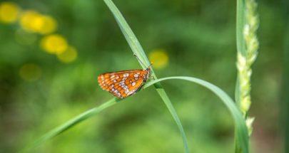 علماء: الفراشات قد تختفي في أوروبا وأميركا بحلول عام 2050 image