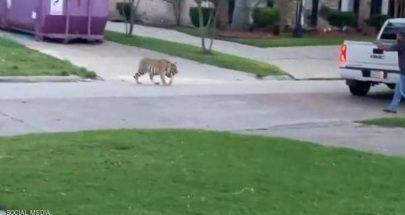 بالفيديو: نمر يتجول في حي سكني بولاية تكساس image