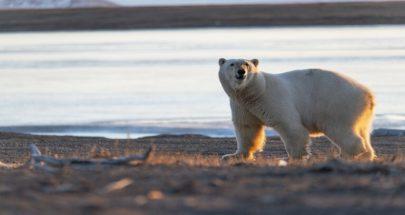 العلماء يضعون أطواقا فضائية على رقاب الدببة البيضاء في القطب الشمالي image
