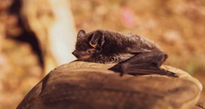 دراسة جديدة تكشف.. خفافيش تأوي فيروسات خطيرة! image