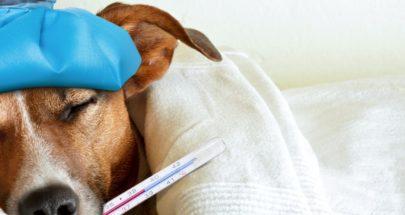 """""""بوكا"""" أول كلب يكشف الإصابة بكوفيد-19 في فرنسا image"""