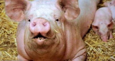 """زراعة كلية خنزير في جسم إنسان """"تنعش"""" آمال ملايين image"""