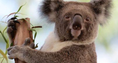 """أستراليا.. تحصين مئات من دببة الكوالا ضد عدوى """"الكلاميديا"""" image"""