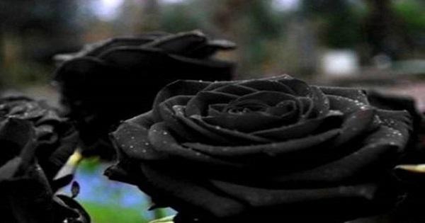 أين يمكن أن تجد الورد الأسود